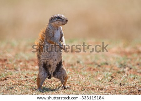 A female ground squirrel standing on 2 legs with soft background