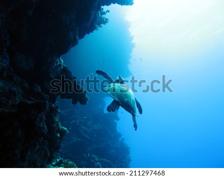 A female hawksbill turtle (Eretmochelys imbricata) along the Blue Hole wall - stock photo