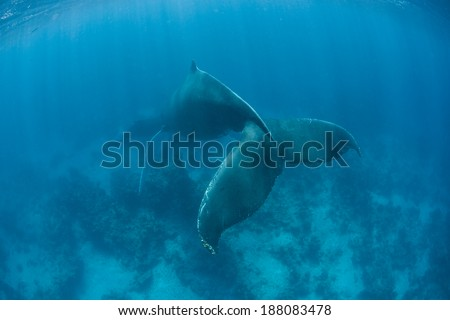 A female Humpback whale (Megaptera novaeangliae) sleeps in the shallows of the Caribbean Sea. The whale's fluke has a distinctive shape. - stock photo