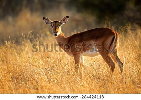 A female impala antelope (Aepyceros melampus) in early  morning light, South Africa - stock photo
