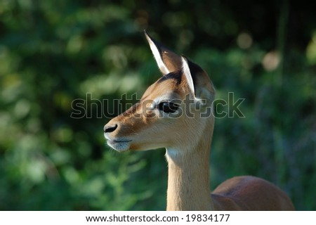 A female impala antelope in Africa with thick forest in the background.