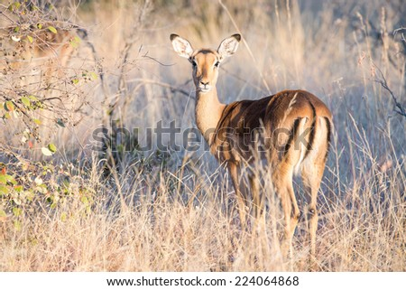 A female Impala buck looking alert in the veld - stock photo