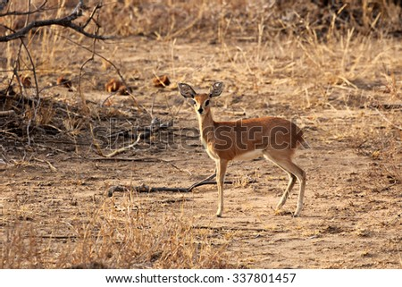 A female impala standing on dry ground somewhere in Krueger National Park, South Africa.