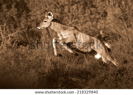 A female Kudu cow jumps and pronks to get away from an approaching lion. Taken in Addo Elephant National Park, South Africa - stock photo