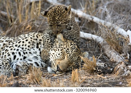 A female leopard takes a nap while it cub licks and grooms its mother in Sabi Sands Game Reserve in greater Kruger National Park, South Africa