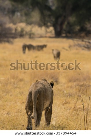A female lion (in foreground) following the remainder of the pride which can be seen disappearing in the distance. Moremi Game Reserve, Okavango Delta, Botswana, Africa. - stock photo