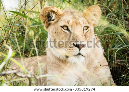 A female lion is sitting in high green grass and watching for zebras to hunt in the Masai Mara in Kenya. - stock photo