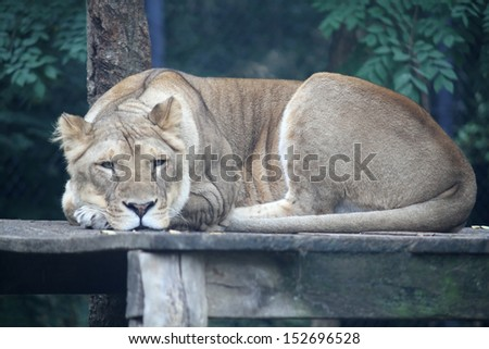 A female lion laying on a piece of wood board - stock photo