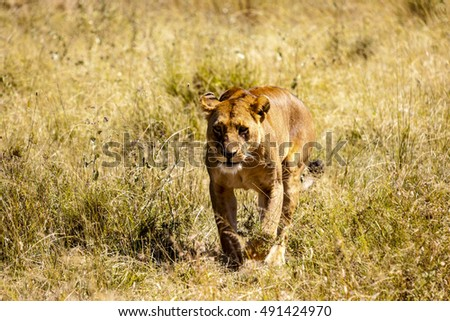 A female Lion - Lioness - in the Serengeti National Park Tanzania Africa