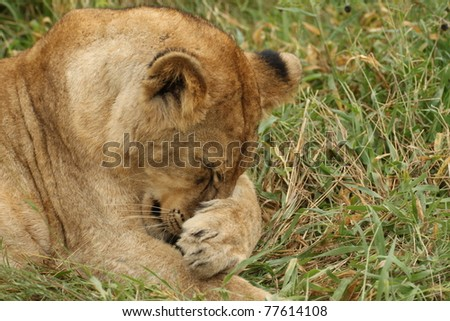A female lion wiping her nose with her paw