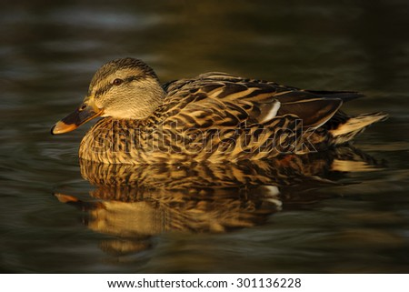 A female Mallard Duck or Wild Duck (Anas platyrhynchos) - stock photo