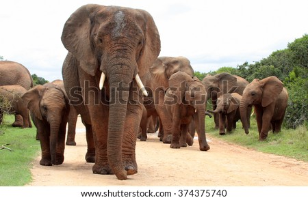A female matriarch elephant mother leads her herd including all the small baby calves to a favorite watering hole in Addo elephant national park,eastern cape,south africa - stock photo
