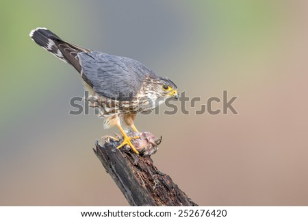 A female Merlin with its fresh catch at Coyote Hills Regional Park of Fremont, California. - stock photo