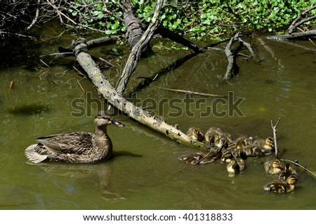 A female mother Mallard duck (Anas platyrhynchos), swimming with her baby ducklings in natural habitat.