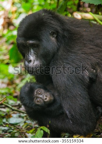 A female mountain gorilla with a baby. Uganda. Bwindi Impenetrable Forest National Park. An excellent illustration.