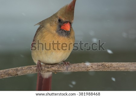 A female Northern Cardinal perched on a small limb in northern Lexington, Kentucky. - stock photo