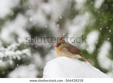A female Northern Cardinal sitting in the snow during a storm.