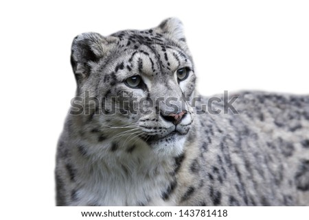 A female of snow leopard, isolated on white background. - stock photo