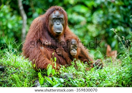 A female of the orangutan with a cub in a native habitat. Bornean orangutan (Pongo o pygmaeus wurmmbii) in the wild nature.Rainforest of Island Borneo. Indonesia. - stock photo