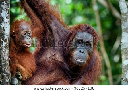 A female of the orangutan with a cub in a native habitat. Bornean orangutan (Pongo o pygmaeus wurmmbii) in the wild nature.Rainforest of Island Borneo. Indonesia. - stock photo
