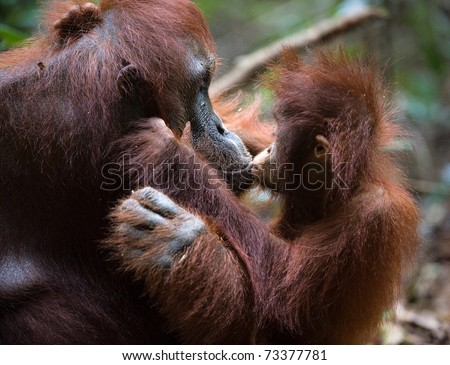 A female of the orangutan with a cub in a native habitat.The cub of the orangutan kisses mum.  Rain wood of Borneo. - stock photo