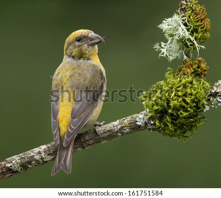 A female red crossbill perches on a moss and lichen cover branch and looks back over her shoulder