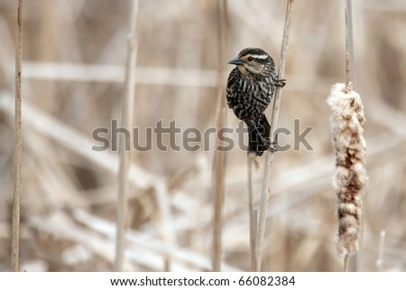 A female red-winged blackbird (agelaius phoeniceus) on a bullrush. - stock photo