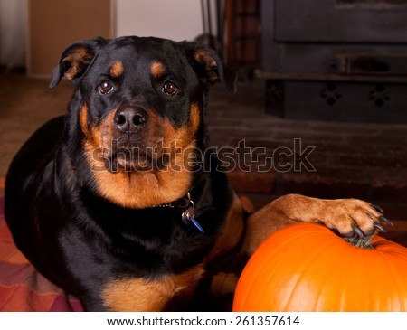 A female Rottweiler laying down at home with her paw on the pumpkin she picked out for Halloween. - stock photo