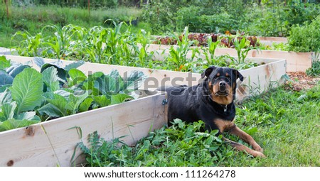 A female Rottweiler with a watchful expression lays between raised garden beds full of young healthy plants. - stock photo