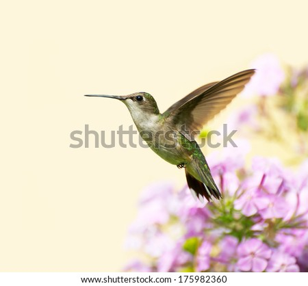 A female ruby throated hummingbird (archilochus colubris) in motion in the garden on a summer day with copy space.  - stock photo