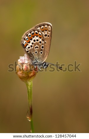 A female Silver studded Blue Butterfly carrying a waterdrop