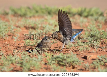 A female Western Bluebird (Sialia mexicana) flutters her wings as she offers an acorn weevil to her fledgling at Maxwell Canyon, nearby Zion National Park, Utah. - stock photo