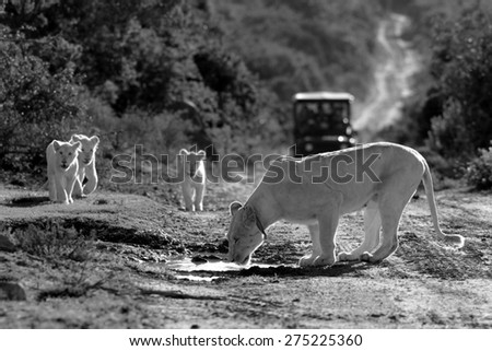 A female white lion and her white cubs have a drink in this black and white image taken on safari in South Africa - stock photo