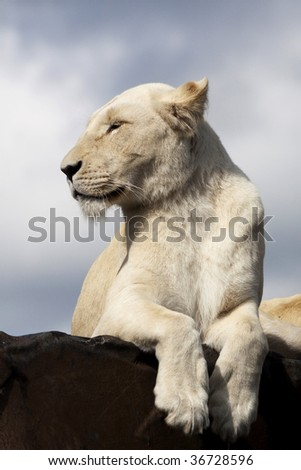 A female white lion resting her paws. - stock photo