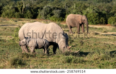 A Female white rhinoceros / rhino and her calf find themselves surrounded by a herd of African elephant in this unique image of two of the big five together. - stock photo
