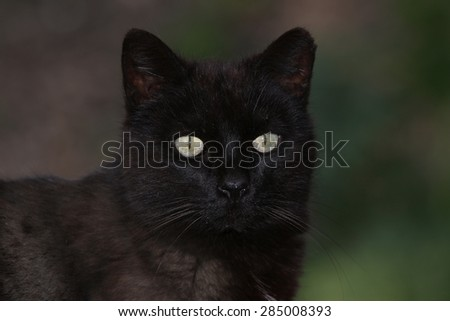 A Feral Black Cat Posing for a Picture