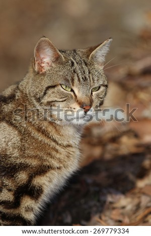 A Feral Cat With Bengal Cat Like Striping Enjoying the Sun on a Warm Day - stock photo