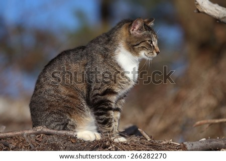 A Feral Cat with No Tail Hunting for Food Outside - stock photo