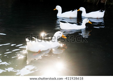 A few ducks swim in a pond in spring time