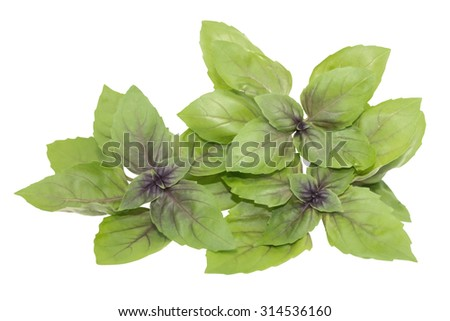 a few green branches of basil with purple center and veins - stock photo