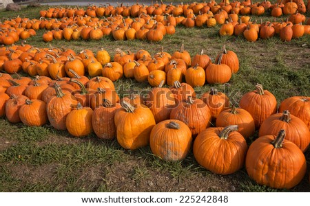 A field a freshly picked pumpkins in Autumn. - stock photo