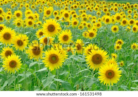 A field full of sunflowers all facing in this direction. - stock photo