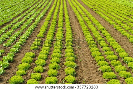 a field in rows planted lettuce plants