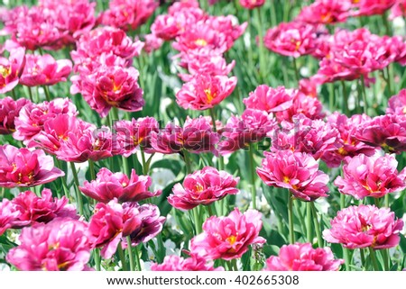 A field of beautiful pink flowers
