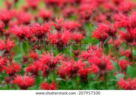 A field of bee balm growing on summer's day.  Selective focus on a single flower.    - stock photo