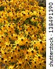 A field of black-eyed susan flowers. - stock photo
