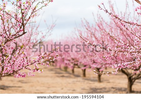 A field of blossoming almond trees. Shallow depth of field - stock photo