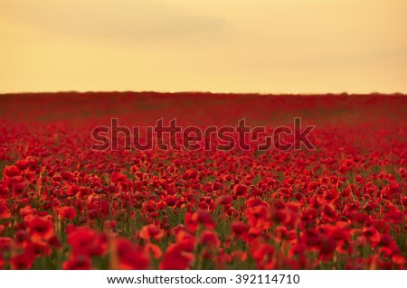 A field of bright scarlet poppies to the horizon at the time of sunrise, sunset.  - stock photo