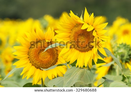 A field of bright yellow sunflowers in Kansas. - stock photo