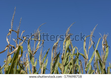 A field of corn in early September, ready for harvest. - stock photo